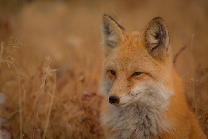 Ruby fox